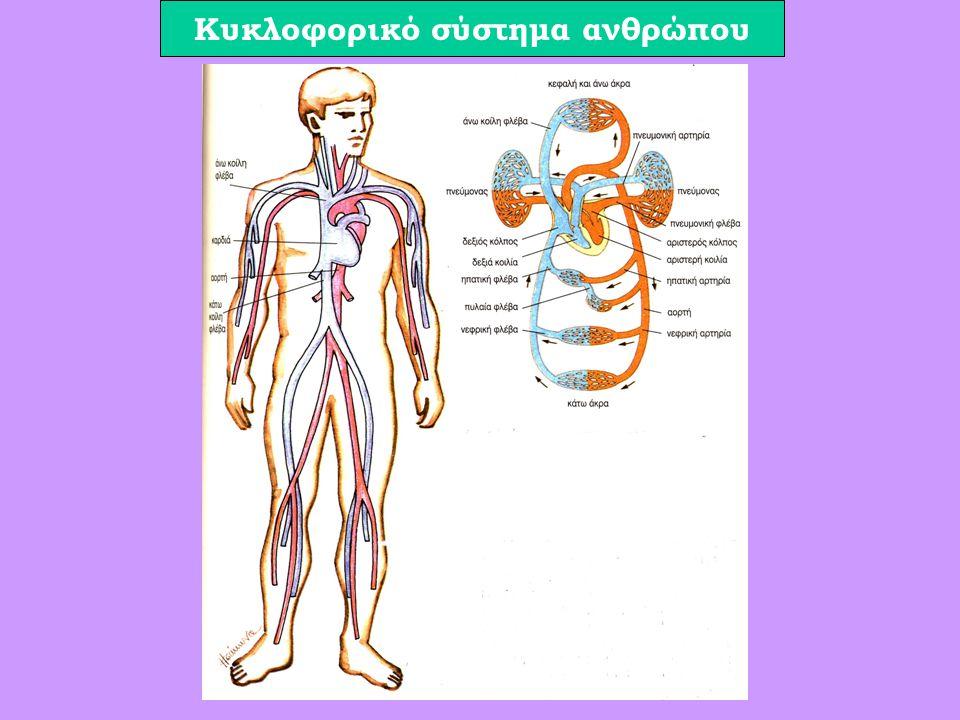 Kυκλοφορικό σύστημα ανθρώπου