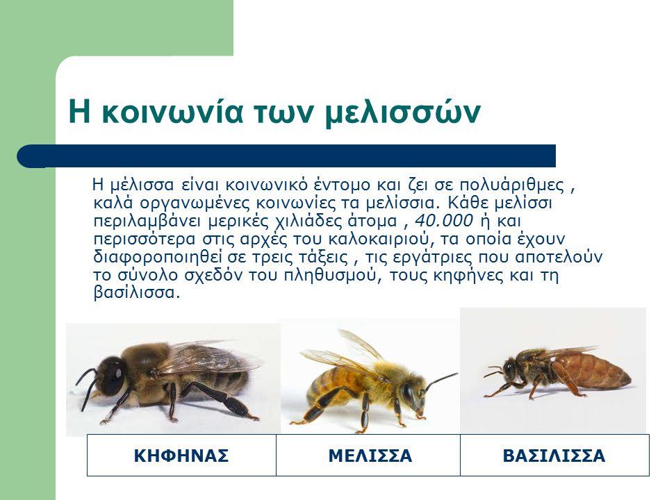 Τα άτομα της κοινωνίας Η εργάτρια Είναι το μικρότερο σε μέγεθος άτομο του μελισσιού.