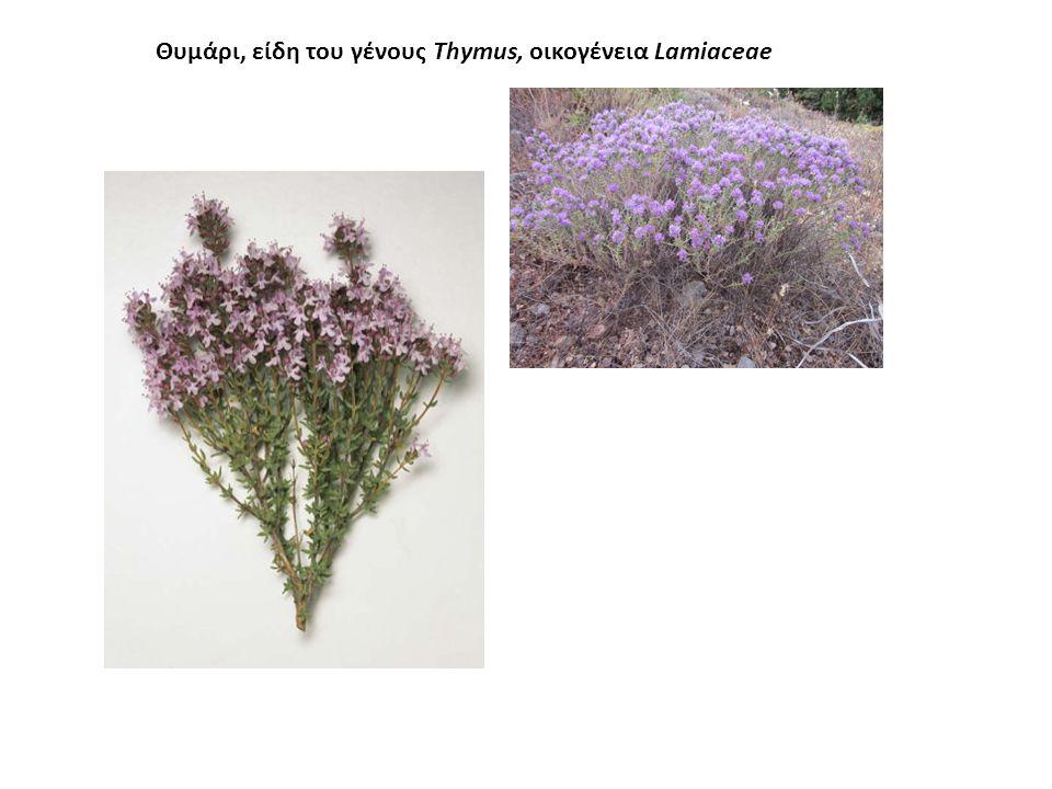 Θυμάρι Thymus capitatus, το θυμάρι το κεφαλωτό, που αυτοφύεται σε πολλές περιοχές της χώρας μας.