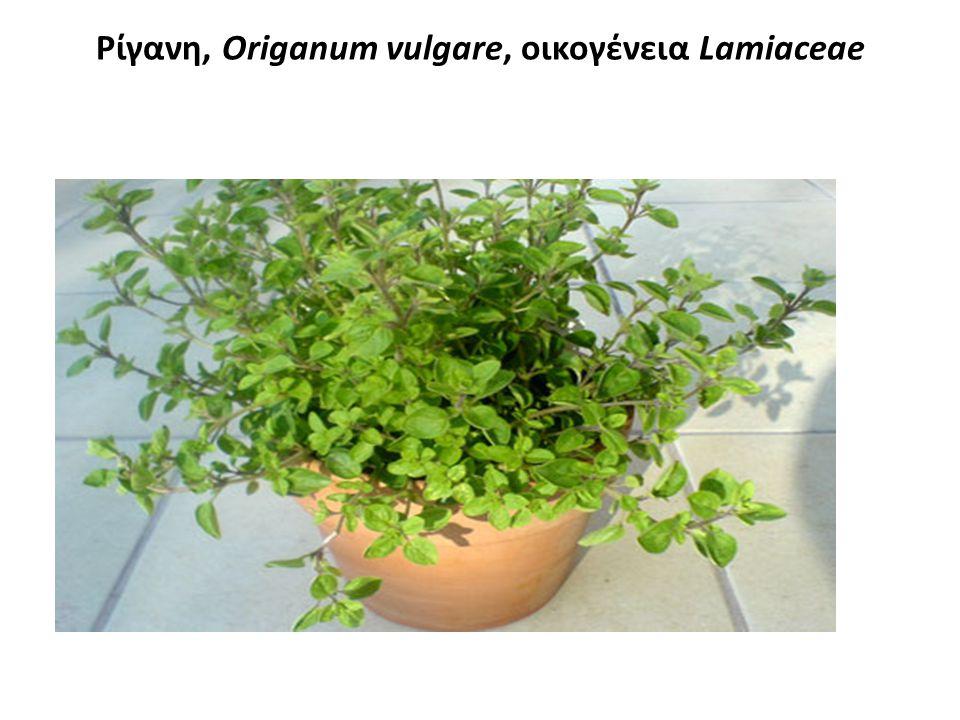 Ρίγανη, Origanum vulgare, οικογένεια Lamiaceae