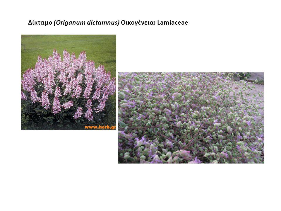 Δίκταμο (Origanum dictamnus) Οικογένεια: Lamiaceae