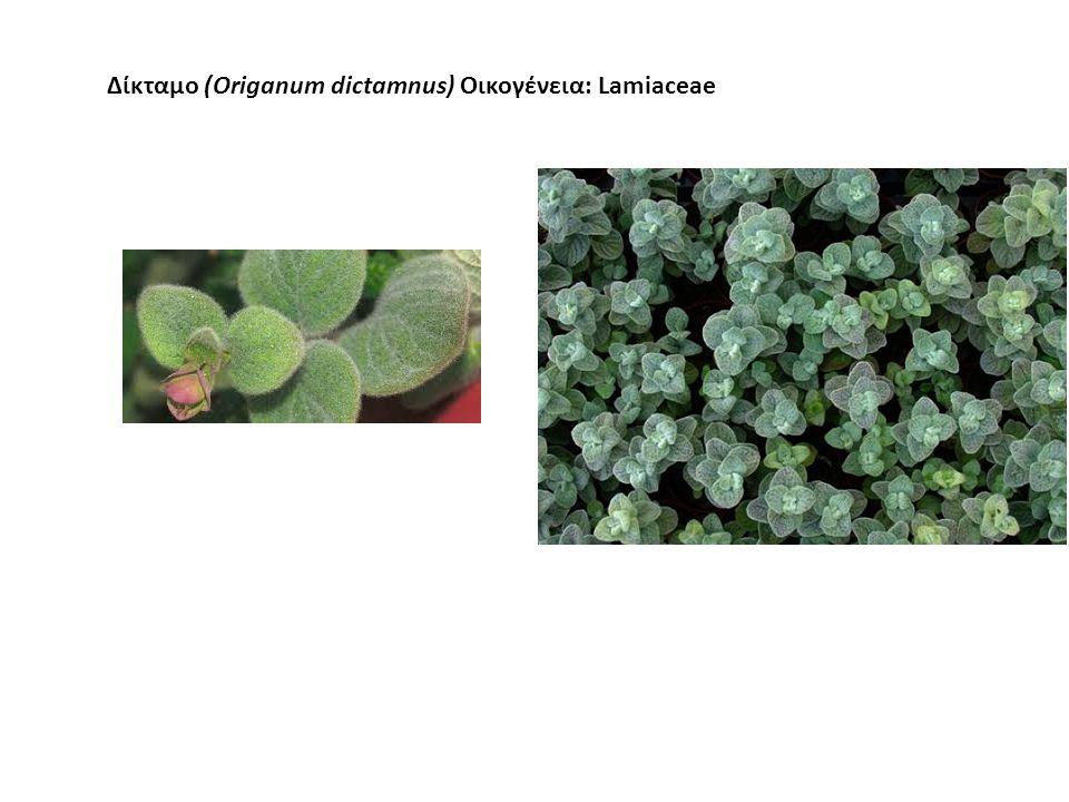 Δίκταμο Πολυετές (4-5 έτη) Ενδημικό φυτό (Κρήτη) Αντέχει στην ξηρασία Χρησιμοποιείται στην ποτοποιία και ως αφέψημα.