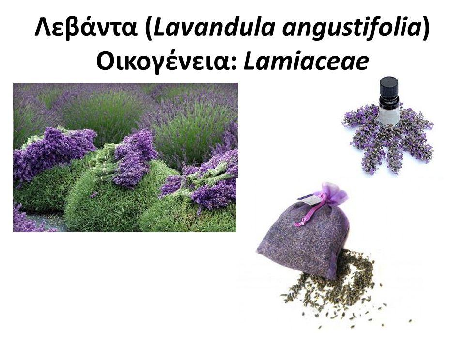 Λεβάντα Πολυετές φυτό, φρυγανώδες και πολύκλαδο με όρθιους βλαστούς που φύονται από τη βάση.