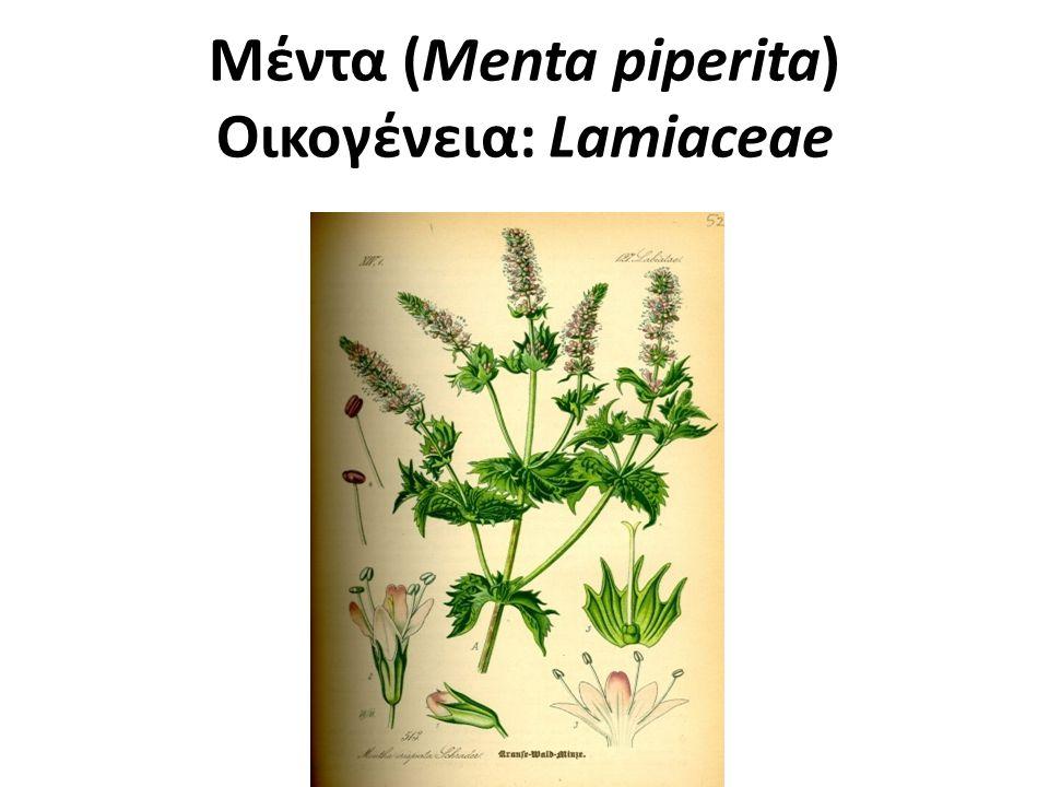 Μέντα Ποώδες, πολυετές φυτό.