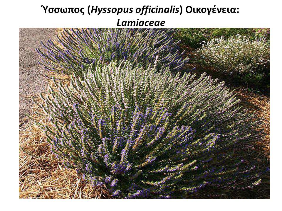 Ύσσωπος (Hyssopus officinalis) Οικογένεια: Lamiaceae