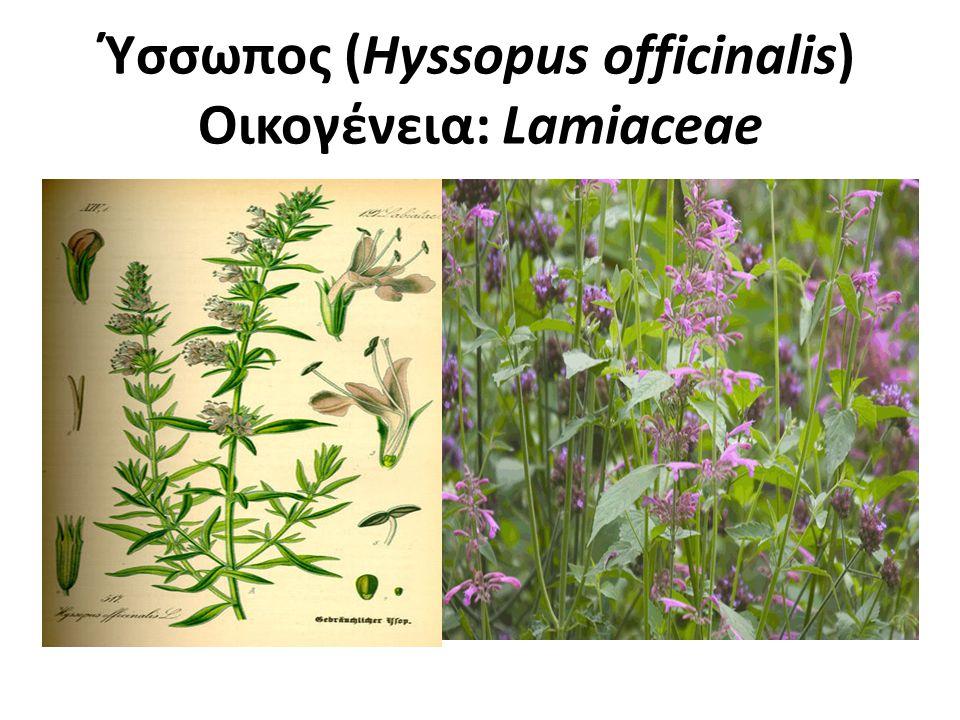 Ύσσωπος Πολυετές φυτό.Αναπτύσσεται σε λοφώδεις, ασβεστολιθικές και σχετικά δροσερές περιοχές.