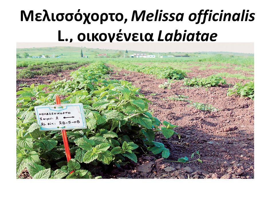 Μελισσόχορτο Πολυετής πόα, αυτοφυής στην Ελλάδα, Απαντάται σε θαμνοτόπους και δάση Με τετραγωνικό πολύκλαδο βλαστό 0-80 cm Ευμεγέθη, ωοειδή, πριονωτά, αντίθετα φύλλα.