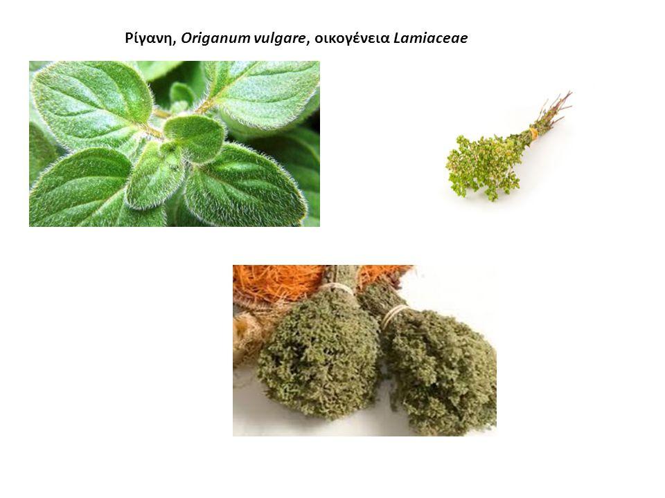 ΡΙΓΑΝΗ Αρτυματικό (μπαχαρικό) Όρος+γάνος: φυτό που λαμπρύνει το βουνό Πολυετής πόα-Ύψος 50-80 cm, άνθη σε ταξιανθίες, ανθίζει Ιούλιο - Αύγουστο