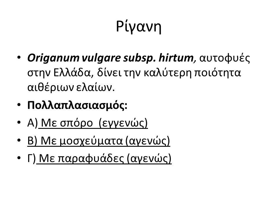 Ρίγανη Origanum vulgare subsp. hirtum, αυτοφυές στην Ελλάδα, δίνει την καλύτερη ποιότητα αιθέριων ελαίων. Πολλαπλασιασμός: Α) Με σπόρο (εγγενώς) Β) Με