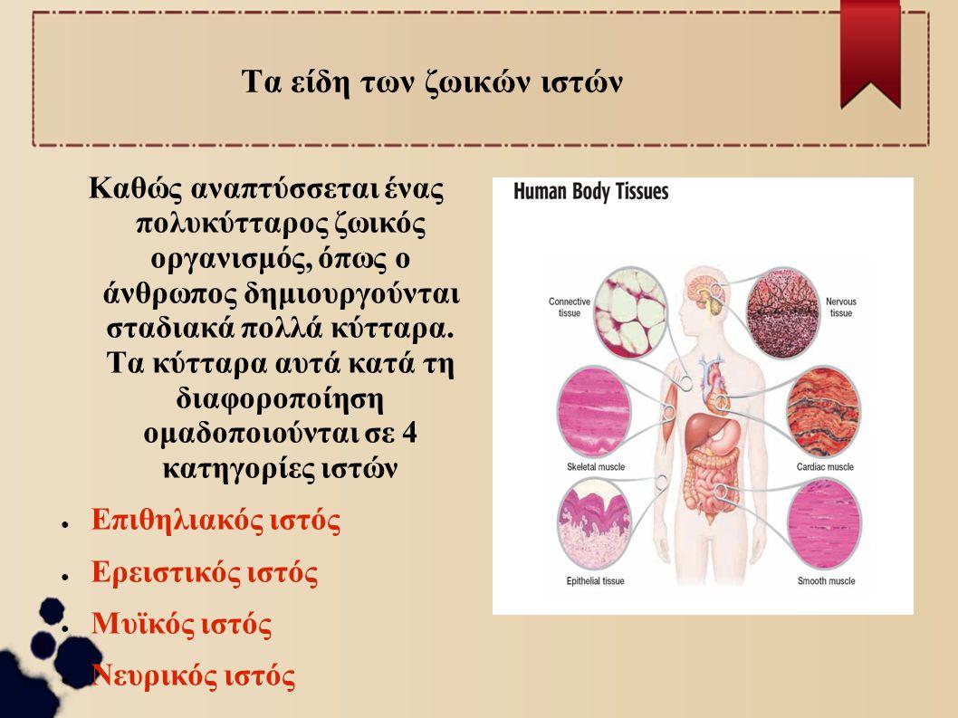 Τα είδη των ζωικών ιστών Καθώς αναπτύσσεται ένας πολυκύτταρος ζωικός οργανισμός, όπως ο άνθρωπος δημιουργούνται σταδιακά πολλά κύτταρα. Τα κύτταρα αυτ