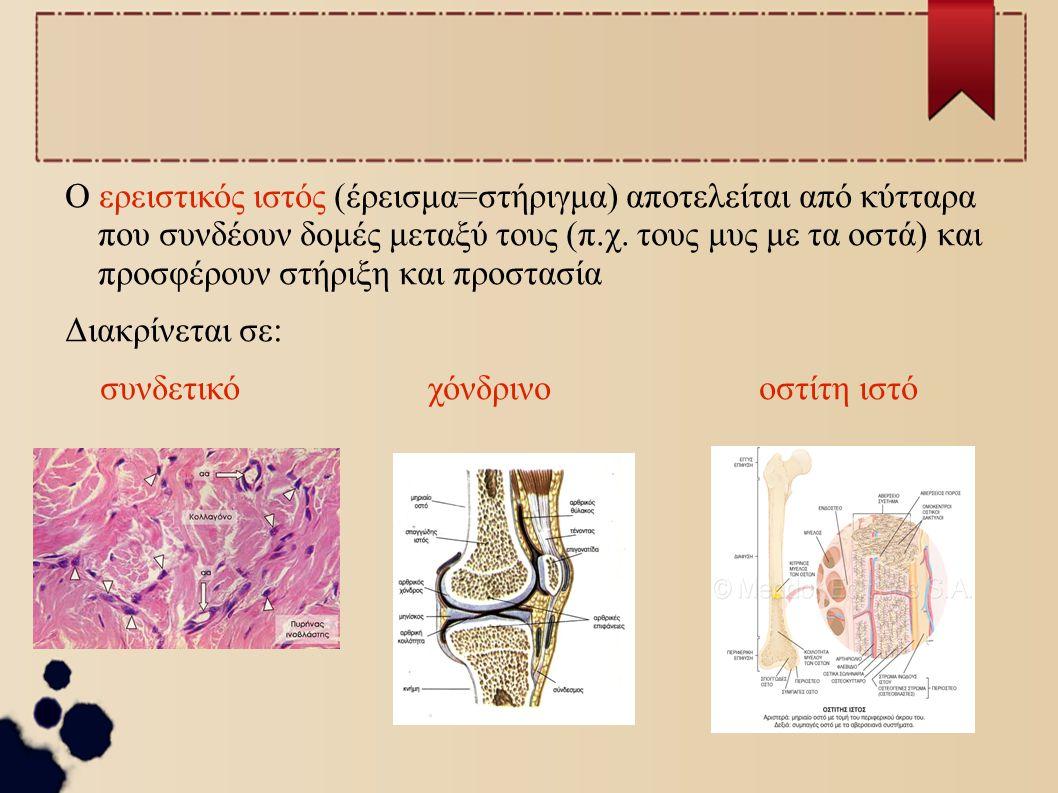 Ο ερειστικός ιστός (έρεισμα=στήριγμα) αποτελείται από κύτταρα που συνδέουν δομές μεταξύ τους (π.χ. τους μυς με τα οστά) και προσφέρουν στήριξη και προ