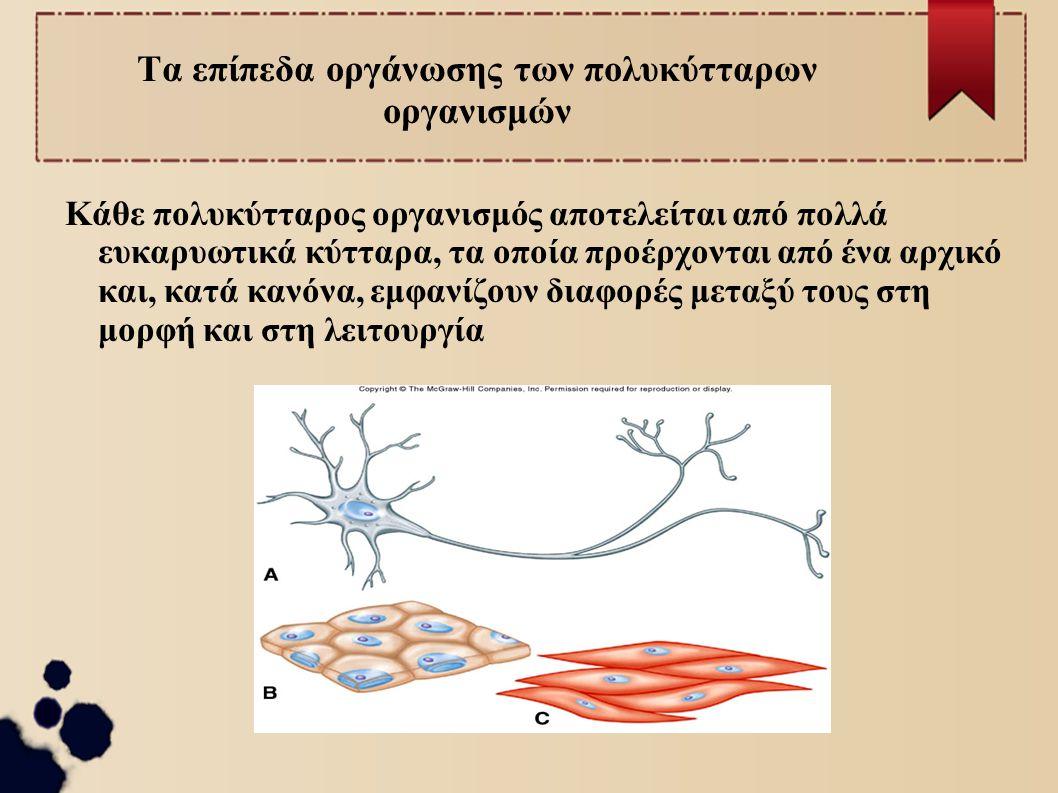 Τα επίπεδα οργάνωσης των πολυκύτταρων οργανισμών Κάθε πολυκύτταρος οργανισμός αποτελείται από πολλά ευκαρυωτικά κύτταρα, τα οποία προέρχονται από ένα