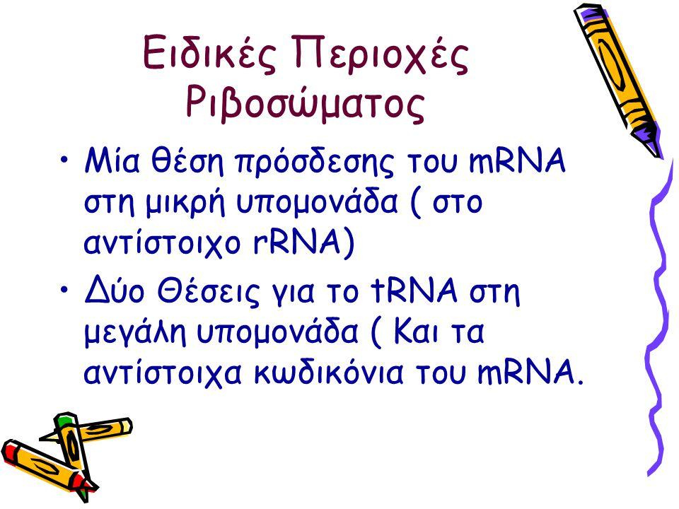 Ειδικές Περιοχές Ριβοσώματος Μία θέση πρόσδεσης του mRNA στη μικρή υπομονάδα ( στο αντίστοιχο rRNA) Δύο Θέσεις για το tRNA στη μεγάλη υπομονάδα ( Και τα αντίστοιχα κωδικόνια του mRNA.