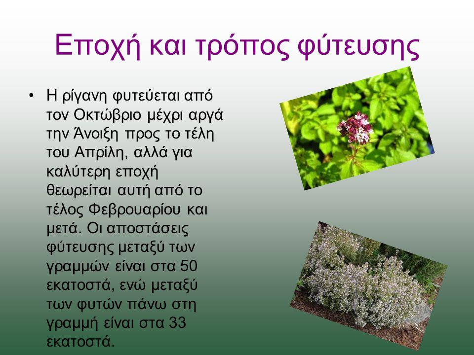 Εποχή και τρόπος φύτευσης Η ρίγανη φυτεύεται από τον Οκτώβριο μέχρι αργά την Άνοιξη προς το τέλη του Απρίλη, αλλά για καλύτερη εποχή θεωρείται αυτή από το τέλος Φεβρουαρίου και μετά.