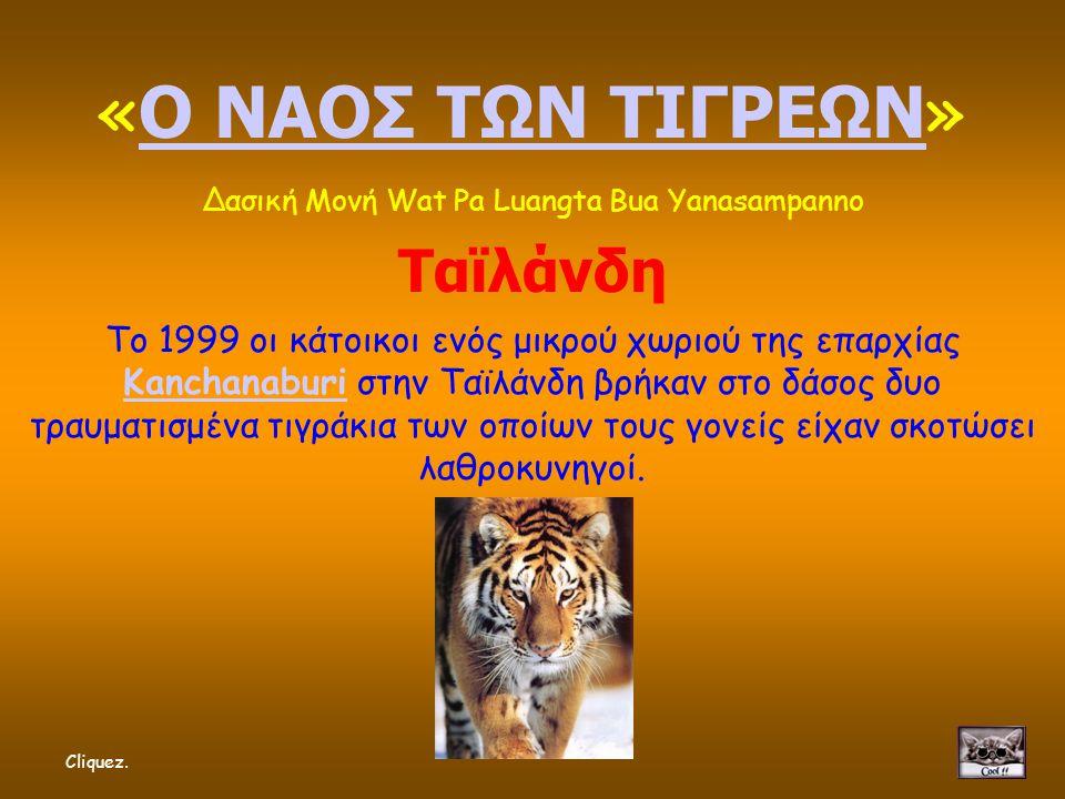 « Ο ΝΑΟΣ ΤΩΝ ΤΙΓΡΕΩΝ » Ο ΝΑΟΣ ΤΩΝ ΤΙΓΡΕΩΝ Δασική Μονή Wat Pa Luangta Bua Yanasampanno Ταϊλάνδη Το 1999 οι κάτοικοι ενός μικρού χωριού της επαρχίας Kanchanaburi στην Ταϊλάνδη βρήκαν στο δάσος δυο τραυματισμένα τιγράκια των οποίων τους γονείς είχαν σκοτώσει λαθροκυνηγοί.