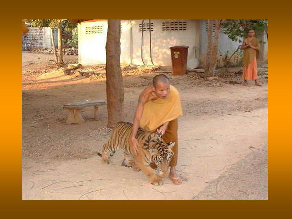 Οι τίγρεις εξημερώνονται, μαθαίνουν να τρώνε μόνο μαγειρευμένο -ποτέ ωμό- κρέας, για να μη μάθουν τη γεύση του αίματος, και ζουν σαν μέλη της μοναστηριακής οικογένειας.