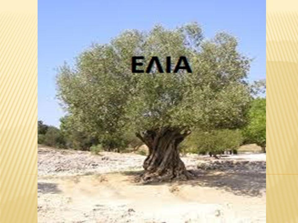 Η ελιά ή ελαιόδενδρο ή λιόδεντρο (επιστ.
