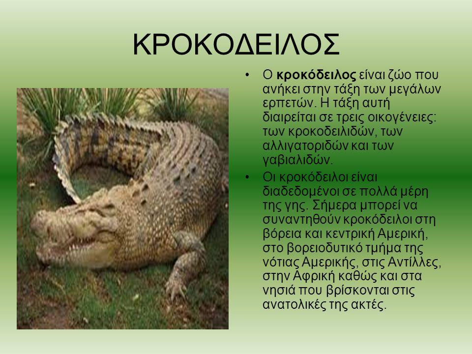 ΚΡΟΚΟΔEΙΛΟΣ Ο κροκόδειλος είναι ζώο που ανήκει στην τάξη των μεγάλων ερπετών. Η τάξη αυτή διαιρείται σε τρεις οικογένειες: των κροκοδειλιδών, των αλλι