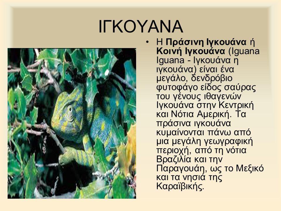 ΙΓΚΟΥΑΝΑ Η Πράσινη Ιγκουάνα ή Κοινή Ιγκουάνα (Iguana Iguana - Ιγκουάνα η ιγκουάνα) είναι ένα μεγάλο, δενδρόβιο φυτοφάγο είδος σαύρας του γένους ιθαγεν