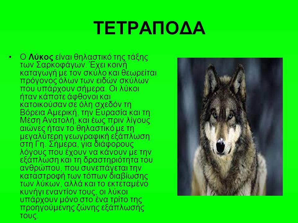 ΤΕΤΡΑΠΟΔΑ Ο Λύκος είναι θηλαστικό της τάξης των Σαρκοφάγων. Έχει κοινή καταγωγή με τον σκύλο και θεωρείται πρόγονος όλων των ειδών σκύλων που υπάρχουν