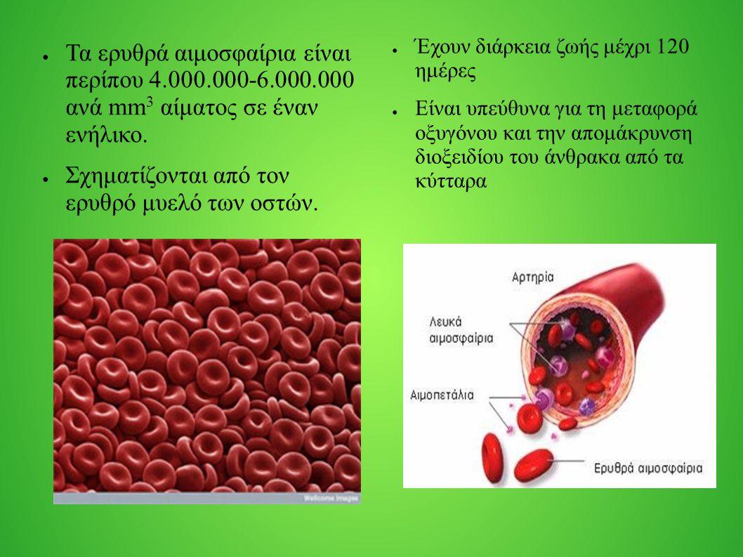 ● Τα ερυθρά αιμοσφαίρια είναι περίπου 4.000.000-6.000.000 ανά mm 3 αίματος σε έναν ενήλικο. ● Σχηματίζονται από τον ερυθρό μυελό των οστών. ● Έχουν δι