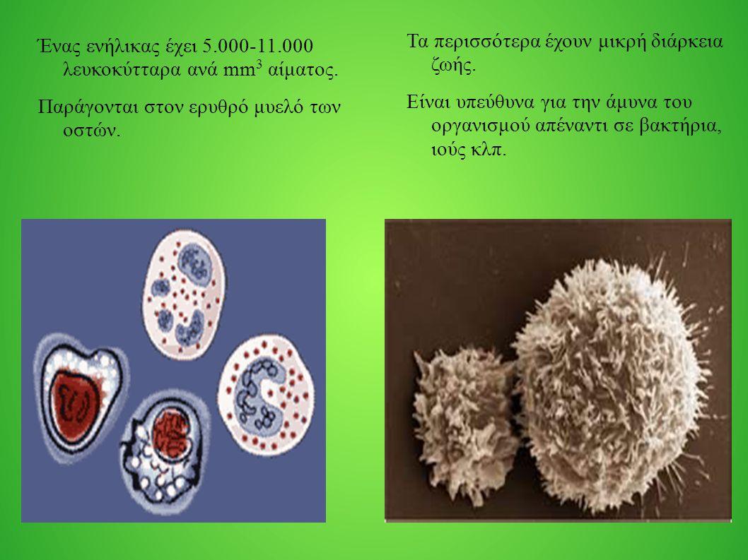Ένας ενήλικας έχει 5.000-11.000 λευκοκύτταρα ανά mm 3 αίματος. Παράγονται στον ερυθρό μυελό των οστών. Τα περισσότερα έχουν μικρή διάρκεια ζωής. Είναι