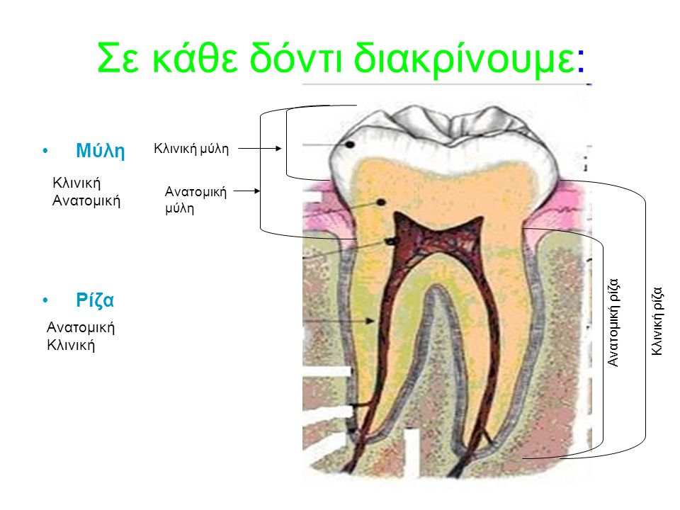 Σε κάθε δόντι διακρίνουμε: Μύλη Ρίζα Ανατομική μύλη Κλινική μύλη Κλινική Ανατομική Ανατομική ρίζα Ανατομική Κλινική Κλινική ρίζα