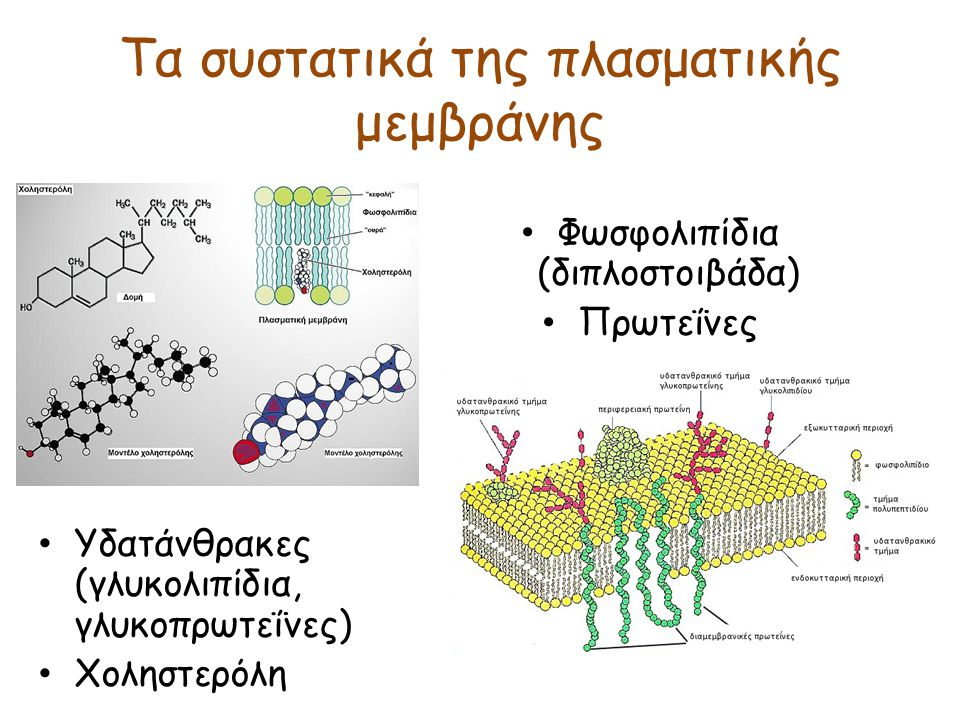 Τα συστατικά της πλασματικής μεμβράνης Φωσφολιπίδια (διπλοστοιβάδα) Πρωτεΐνες Υδατάνθρακες (γλυκολιπίδια, γλυκοπρωτεΐνες) Χοληστερόλη