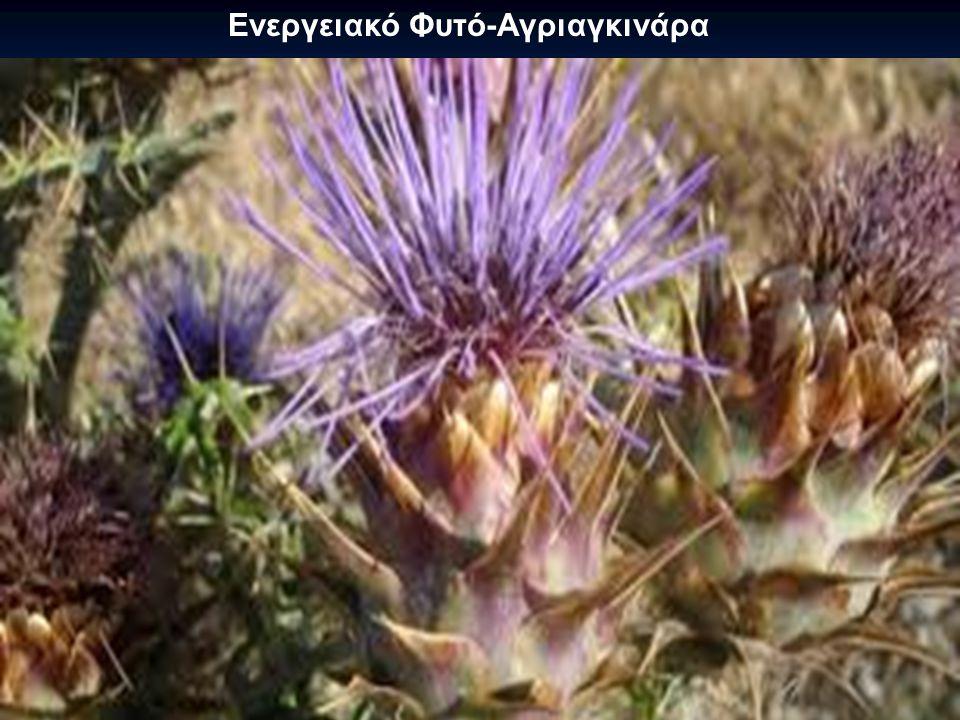 Ενεργειακό Φυτό-Αγριαγκινάρα