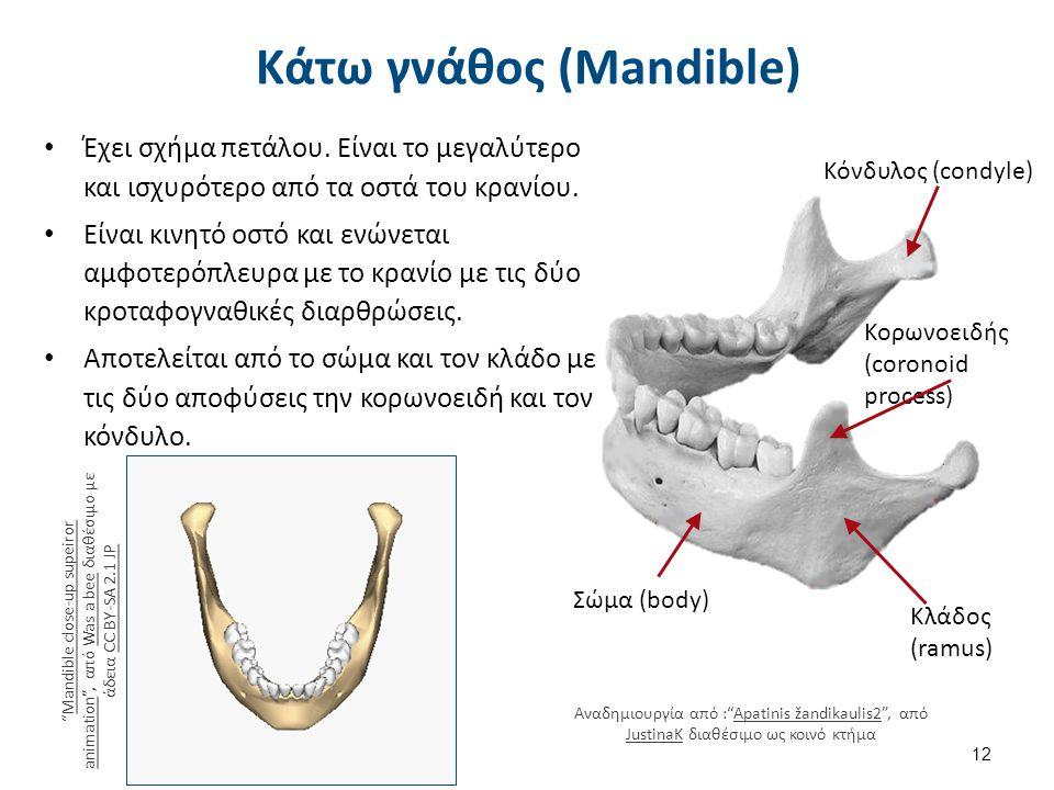 Σώμα (body) Κορωνοειδής (coronoid process) Κόνδυλος (condyle) Κλάδος (ramus) Έχει σχήμα πετάλου. Είναι το μεγαλύτερο και ισχυρότερο από τα οστά του κρ