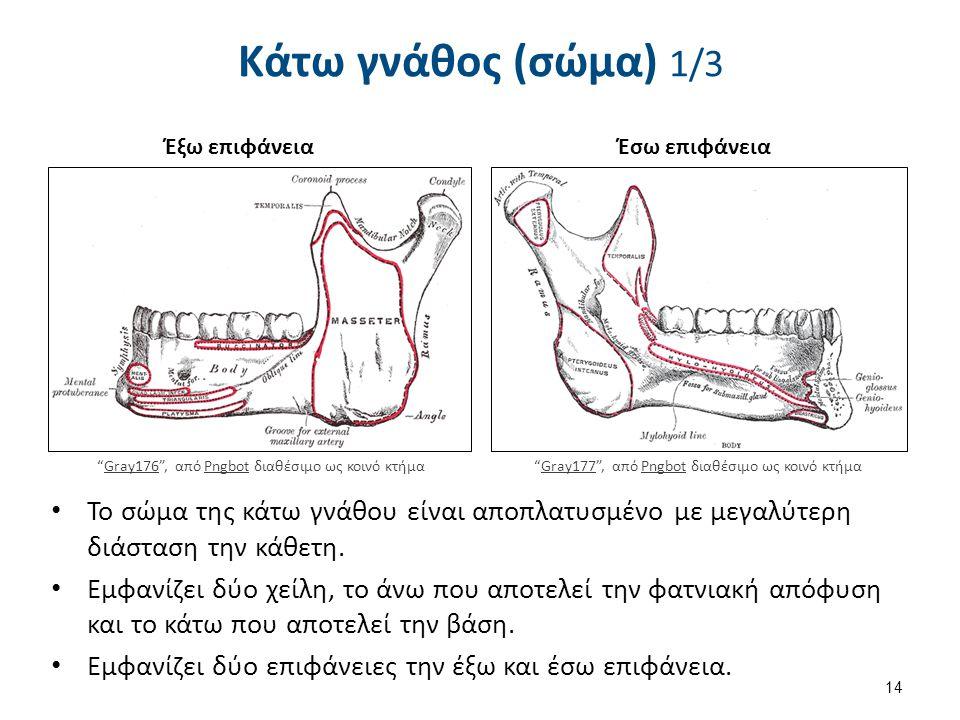 Το σώμα της κάτω γνάθου είναι αποπλατυσμένο με μεγαλύτερη διάσταση την κάθετη. Εμφανίζει δύο χείλη, το άνω που αποτελεί την φατνιακή απόφυση και το κά