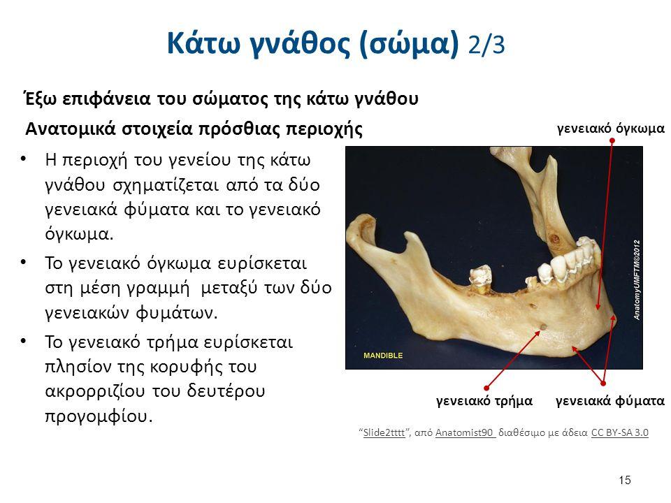 Κάτω γνάθος (σώμα) 2/3 Έξω επιφάνεια του σώματος της κάτω γνάθου Ανατομικά στοιχεία πρόσθιας περιοχής Η περιοχή του γενείου της κάτω γνάθου σχηματίζετ