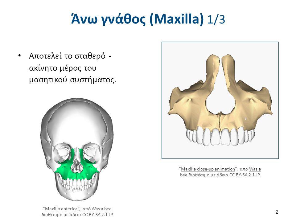 """Αποτελεί το σταθερό - ακίνητο μέρος του μασητικού συστήματος. Άνω γνάθος (Maxilla) 1/3 """"Maxilla anterior"""", από Was a bee διαθέσιμο με άδεια CC BY-SA 2"""