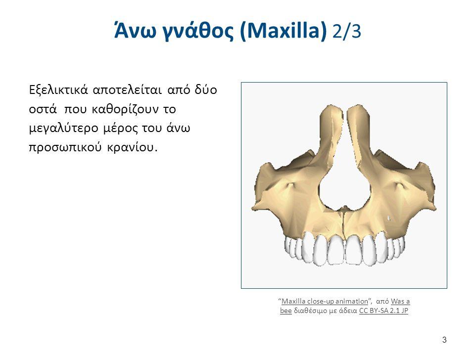"""Άνω γνάθος (Maxilla) 2/3 Εξελικτικά αποτελείται από δύο οστά που καθορίζουν το μεγαλύτερο μέρος του άνω προσωπικού κρανίου. """"Maxilla close-up animatio"""