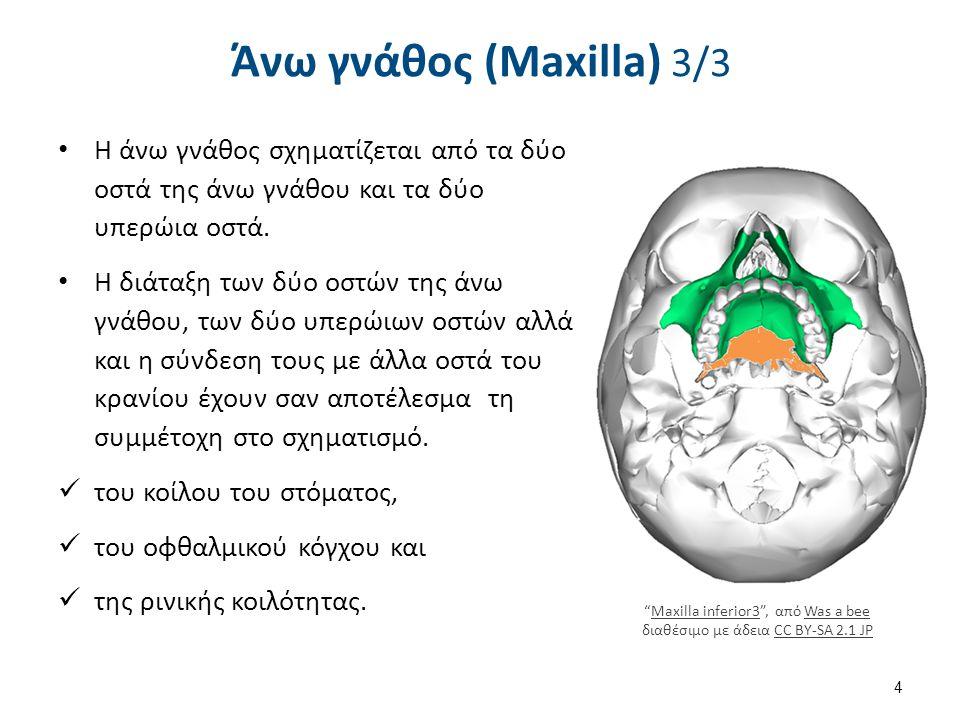 Άνω γνάθος (Maxilla) 3/3 Η άνω γνάθος σχηματίζεται από τα δύο οστά της άνω γνάθου και τα δύο υπερώια οστά. Η διάταξη των δύο οστών της άνω γνάθου, των