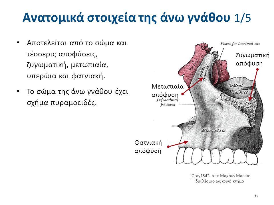 Αποτελείται από το σώμα και τέσσερις αποφύσεις, ζυγωματική, μετωπιαία, υπερώια και φατνιακή. Το σώμα της άνω γνάθου έχει σχήμα πυραμοειδές. Ανατομικά