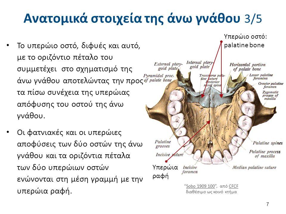 Το υπερώιο οστό, διφυές και αυτό, με το οριζόντιο πέταλο του συμμετέχει στο σχηματισμό της άνω γνάθου αποτελώντας την προς τα πίσω συνέχεια της υπερώι