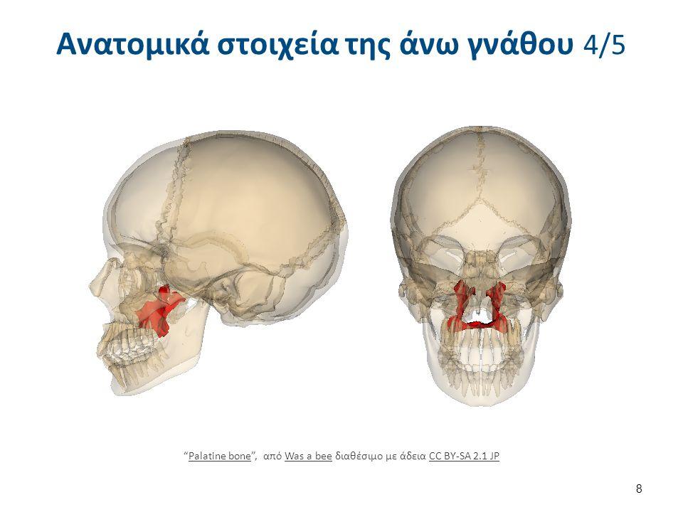 """Ανατομικά στοιχεία της άνω γνάθου 4/5 8 """"Palatine bone"""", από Was a bee διαθέσιμο με άδεια CC BY-SA 2.1 JPPalatine boneWas a beeCC BY-SA 2.1 JP"""