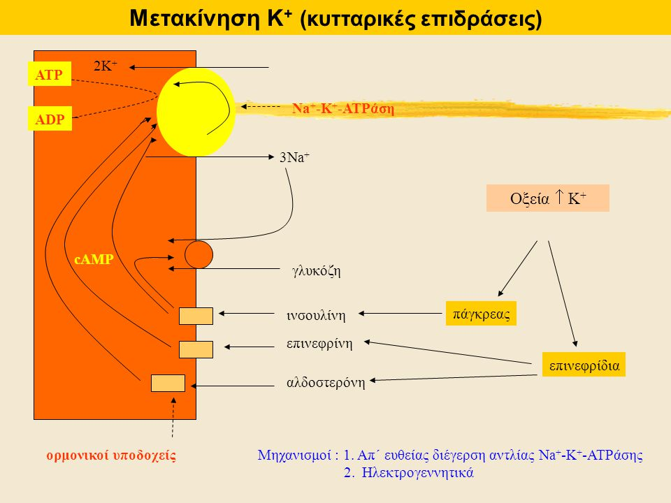 ορμονικοί υποδοχείς 3Na + 2K+2K+ ινσουλίνη επινεφρίνη αλδοστερόνη γλυκόζη cAMP ATP ADP Na + -K + -ATPάση Οξεία  Κ + πάγκρεας επινεφρίδια Μηχανισμοί :