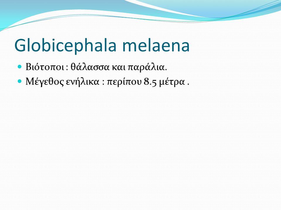 Globicephala melaena Βιότοποι : θάλασσα και παράλια. Μέγεθος ενήλικα : περίπου 8.5 μέτρα.