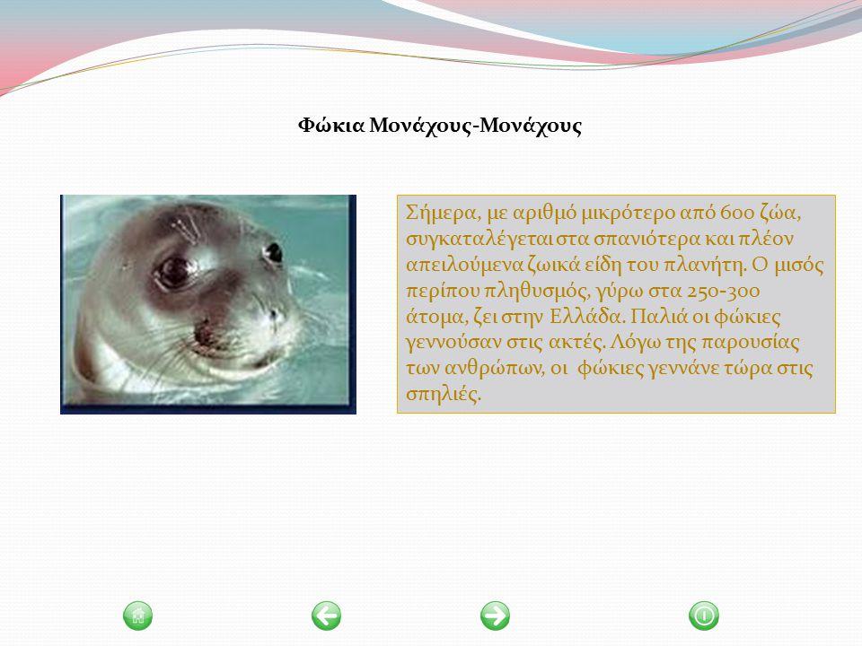 Φώκια Μονάχους-Μονάχους Σήμερα, με αριθμό μικρότερο από 600 ζώα, συγκαταλέγεται στα σπανιότερα και πλέον απειλούμενα ζωικά είδη του πλανήτη.