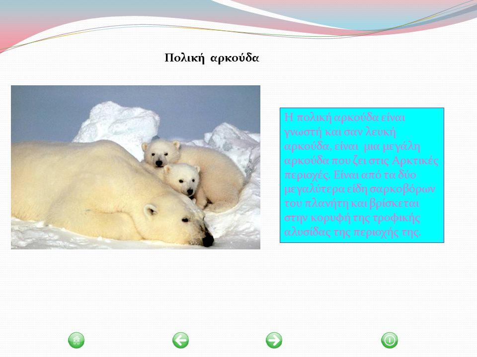 Η πολική αρκούδα είναι γνωστή και σαν λευκή αρκούδα, είναι μια μεγάλη αρκούδα που ζει στις Αρκτικές περιοχές.
