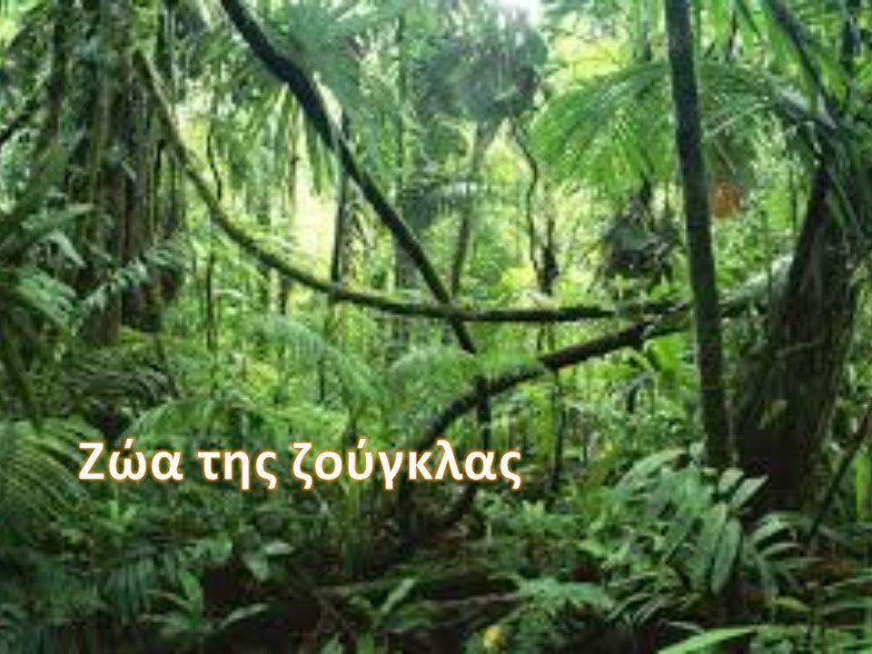 Που ζει: στο δάσος Τι τρώει : βελανίδια Κατηγορία : θηλαστικό Μαρία-Ειρήνη Γερασιμούλα Κωνσταντίνος