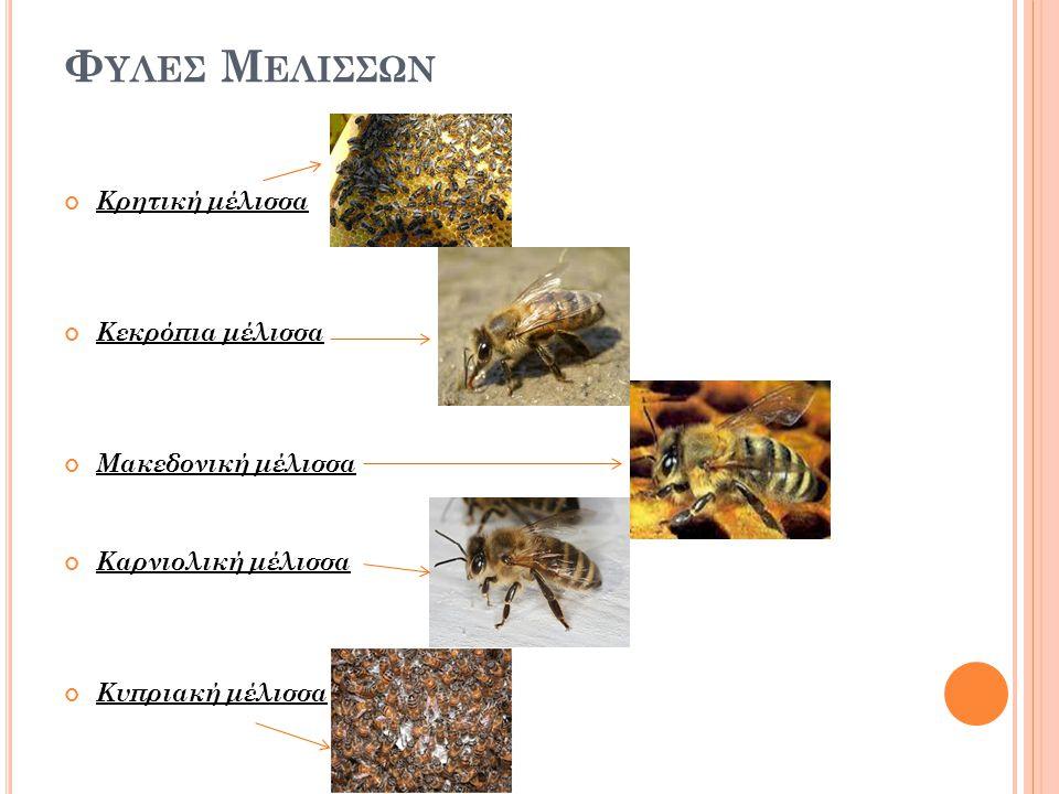 Φ ΥΛΕΣ Μ ΕΛΙΣΣΩΝ Κρητική μέλισσα Κεκρόπια μέλισσα Μακεδονική μέλισσα Καρνιολική μέλισσα Κυπριακή μέλισσα