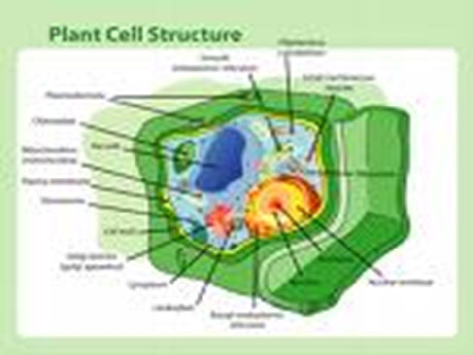 Πλασματική μεμβράνη  Περιβάλλει κάθε ευκαρυωτικό κύτταρο και δομείται από λιπίδια και πρωτεϊνες.