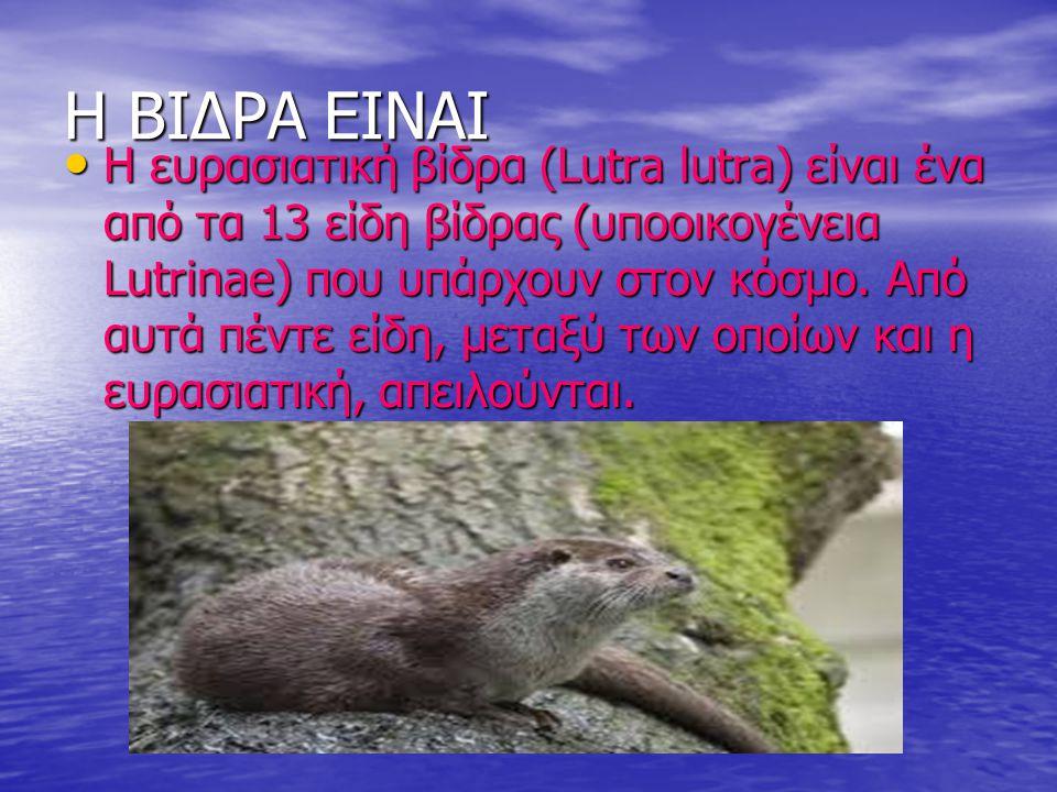 Η ΒΙΔΡΑ ΕΙΝΑΙ Η ευρασιατική βίδρα (Lutra lutra) είναι ένα από τα 13 είδη βίδρας (υποοικογένεια Lutrinae) που υπάρχουν στον κόσμο. Από αυτά πέντε είδη,