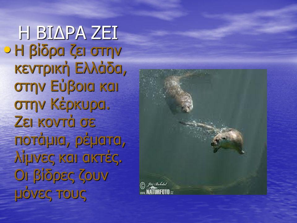 Η ΒΙΔΡΑ ΖΕΙ Η βίδρα ζει στην κεντρική Ελλάδα, στην Εύβοια και στην Κέρκυρα. Zει κοντά σε ποτάμια, ρέματα, λίμνες και ακτές. Οι βίδρες ζουν μόνες τους