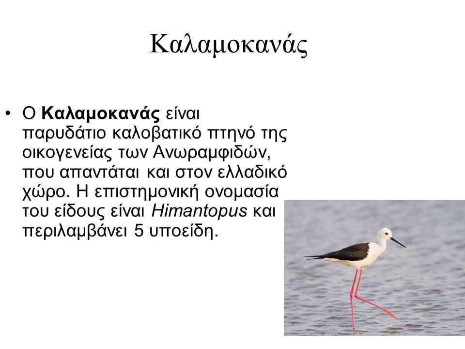 Καλαμοκανάς Ο Καλαμοκανάς είναι παρυδάτιο καλοβατικό πτηνό της οικογενείας των Ανωραμφιδών, που απαντάται και στον ελλαδικό χώρο.