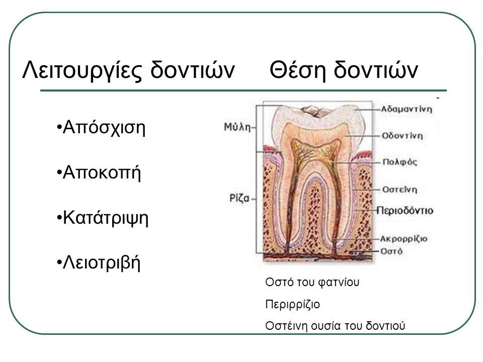 Λειτουργίες δοντιώνΘέση δοντιών Απόσχιση Αποκοπή Κατάτριψη Λειοτριβή Οστό του φατνίου Περιρρίζιο Οστέινη ουσία του δοντιού