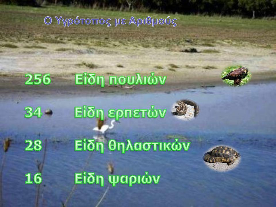 Ψαρόνι Αργυροτσικνιάς Γερακίνα Φαλαρίδα Κορμοράνος